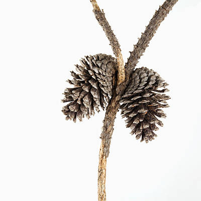 Two Pine Cones One Twig Print by Carol Leigh