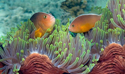 Two Skunk Anemone Fish And Indian Bulb Print by Panoramic Images