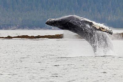 Breach Photograph - Usa, Alaska, Frederick Sound by Jaynes Gallery