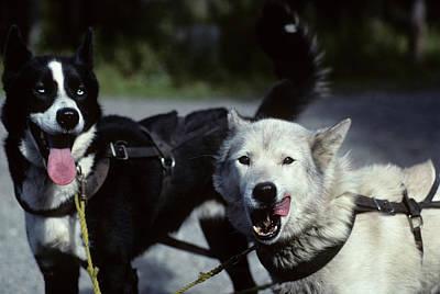 Usa, Alaska, Sled Dogs, Dog Sledding Print by Gerry Reynolds