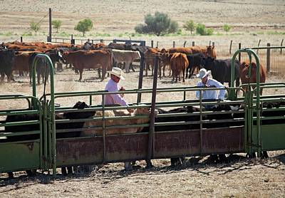 Vaccinating Cattle Print by Jim West