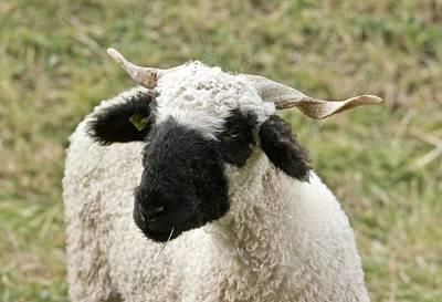 Valais Blacknose Sheep Grazing Print by Bob Gibbons