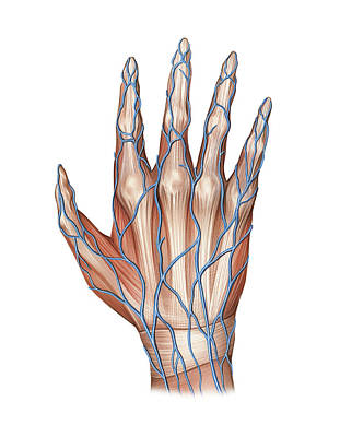 Of Hands Photograph - Venous System Of The Hand by Asklepios Medical Atlas