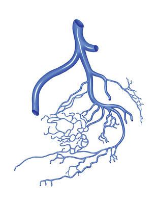 Venous System Of The Male Pelvis Print by Asklepios Medical Atlas