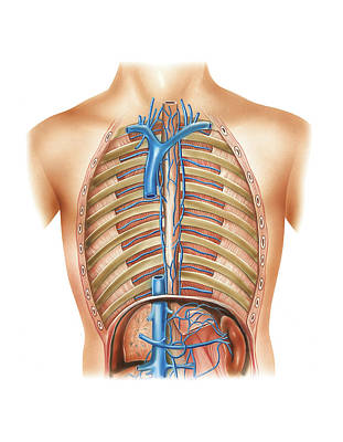Venous System Of The Torso Print by Asklepios Medical Atlas
