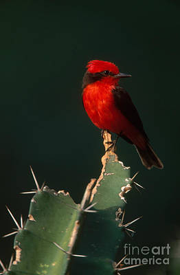 Flycatcher Photograph - Vermilion Flycatcher by Art Wolfe