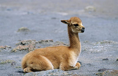 Baby Wool Photograph - Vicuna (vicugna Vicugna by Martin Zwick