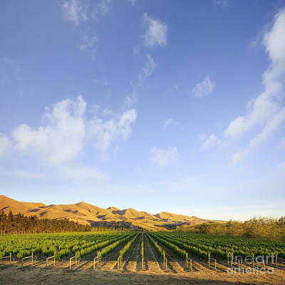 Vineyard In Canterbury New Zealand Print by Colin and Linda McKie