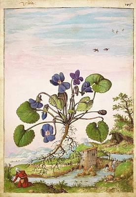 Violet (viola Odorata) Print by British Library