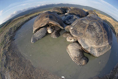 Mud Season Photograph - Volcan Alcedo Giant Tortoises Wallowing by Tui De Roy