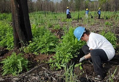 Volunteers Removing Invasive Plants Print by Jim West