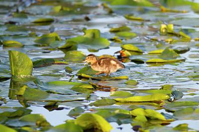 Wa, Juanita Bay Wetland, Mallard Duck Print by Jamie and Judy Wild