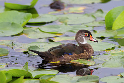 Aix Sponsa Photograph - Wa, Juanita Bay Wetland, Wood Duck by Jamie and Judy Wild
