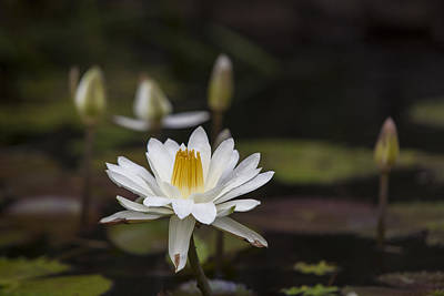 Water Lilly 6 Print by Charles Warren