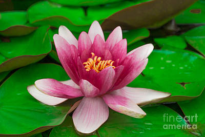 Flowers Photograph - Water Lily by Amanda Mohler