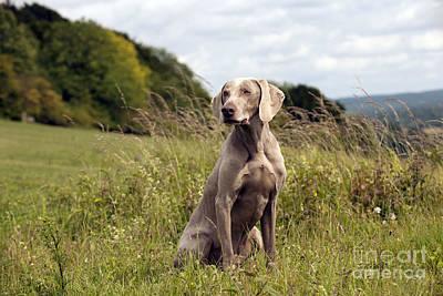 Weimaraner Photograph - Weimaraner Dog by John Daniels