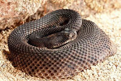 Western Diamondback Rattlesnake Print by David Northcott