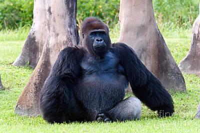 Gorilla Photograph - Western Lowland Gorilla by Mark Newman