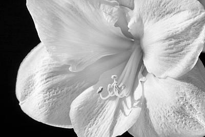 Amaryllis Photograph - White Amaryllis by Adam Romanowicz