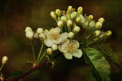 White Blossoms Print by Cindi Ressler