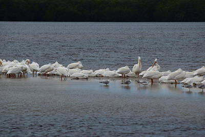 White Pelicans Print by Curtis Krusie