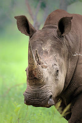 Close Up Photograph - White Rhinoceros by Johan Swanepoel