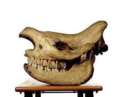Rhinoceros Photograph - White Rhinoceros Skull by Ucl, Grant Museum Of Zoology
