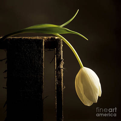 White Tulip Print by Bernard Jaubert