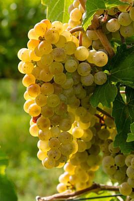 White Wine Grapes Print by Teri Virbickis