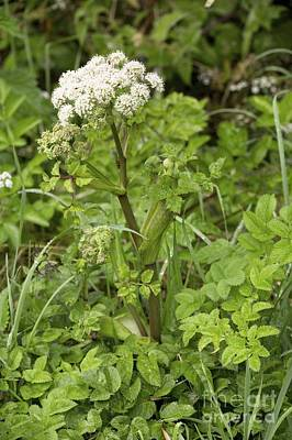 Wild Angelica Angelica Sylvestris Print by Bob Gibbons