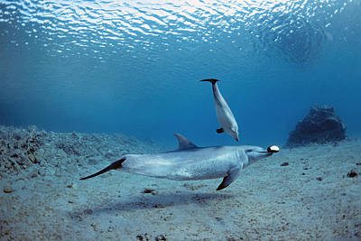 Dolphin Photograph - Wild Bottlenose Dolphins Mother & Calf by Jeff Rotman