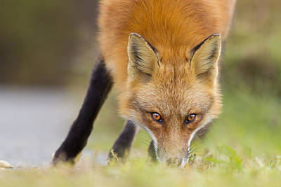 Attitude Photograph - Wild Eyes by Mircea Costina Photography