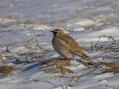 Meadowlark Photograph - Winter Bird by Jeff Swan
