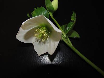 Photograph - Winter Flower by Joyce Woodhouse