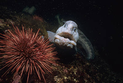 Wolf-eel And Red Sea Urchin Print by Jeff Rotman