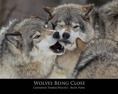 Wolves Photograph - Wolves Being Close by Rudy Pohl