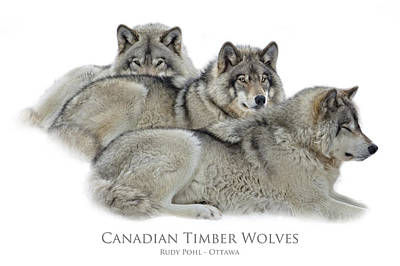 Wolf Photograph - Wolves Hanging Out by Rudy Pohl