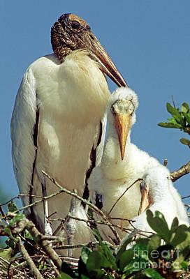 Stork Photograph - Wood Storks by Millard H. Sharp