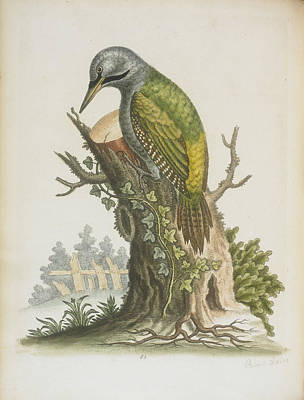 Woodpeckers Photograph - Woodpecker by British Library