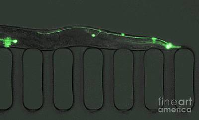 Worm Trapped Inside A Lab-on-a-chip Print by Volker Steger