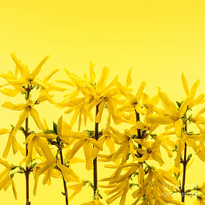 Forsythia Photograph - Yellow Forsythia Flowers by Elena Elisseeva