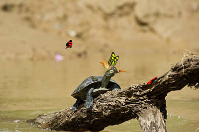 River Turtle Photograph - Yellow-spotted River Turtle (podocnemis by Pete Oxford