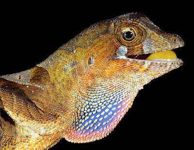 Neotropical Photograph - Yellow-tongued Anole Displaying Dewlap by Dr Morley Read