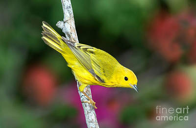 Yellow Warbler Dendroica Petechia Print by Anthony Mercieca