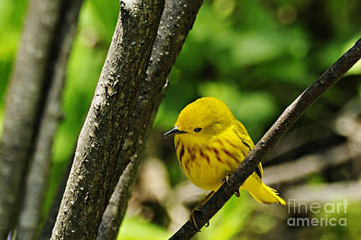 Yellow Warbler Print by Larry Ricker
