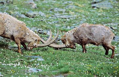 Goat Photograph - Alpine Ibex (capra Ibex by Martin Zwick