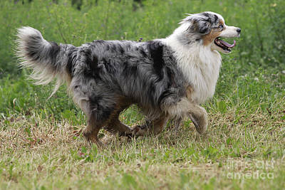 Dog Trots Photograph - Australian Shepherd Dog by Jean-Michel Labat