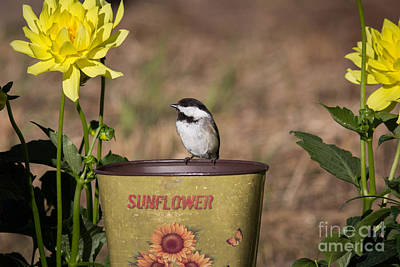 Northwoods Photograph - Black-capped Chickadee Poecile by Linda Freshwaters Arndt