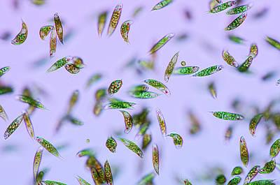 Euglena Protozoa Print by Marek Mis