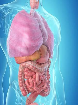 Internal Organs Photograph - Human Internal Organs by Sciepro